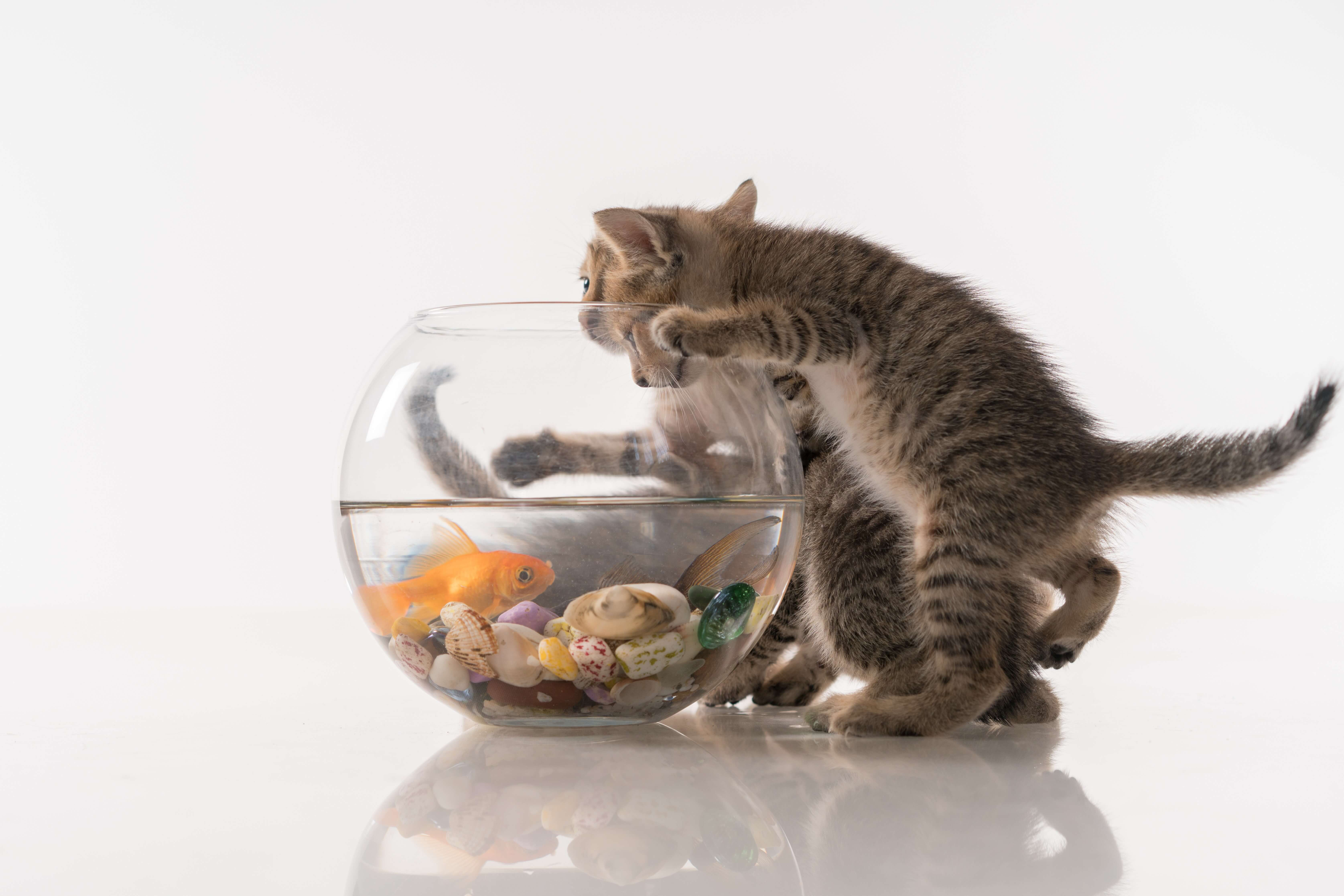 Kittens threatening a goldfish in a bowl