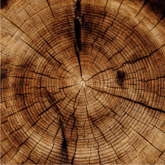 Corss cut of an old tree exposing the age rings